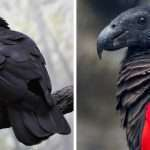 Dracula Parrots Exist And They Are Probably The Most Gothic Birds In The World